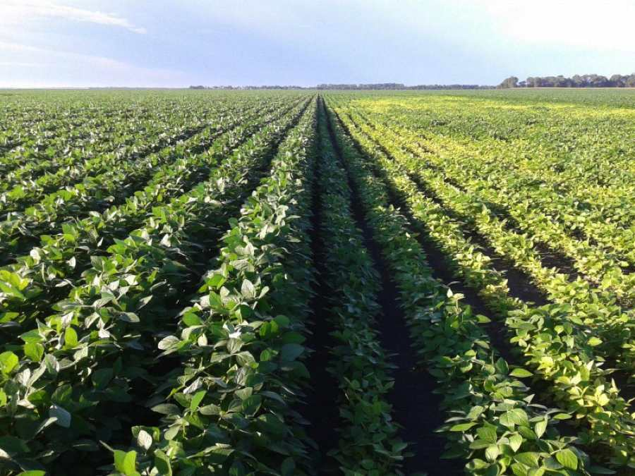 How Growers Can Prevent Iron Deficiency Chlorosis
